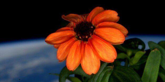 Un astronaute de l'ISS dévoile la première fleur cultivée dans
