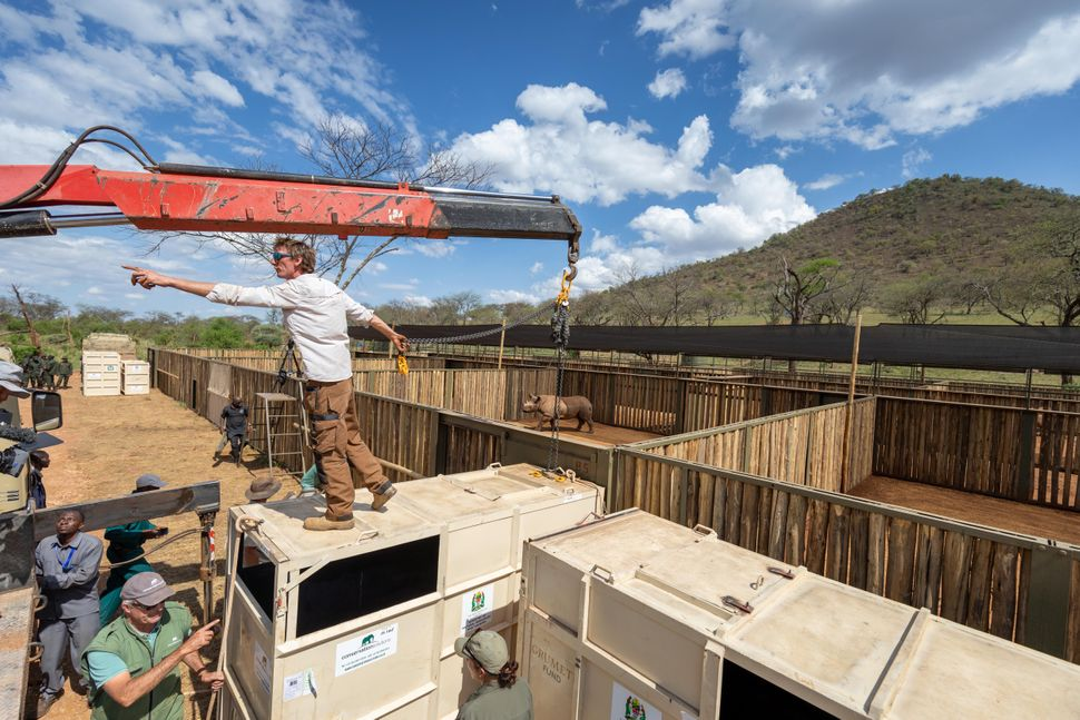The challenging task of moving rhinos from crates to enclosures Ikorongo Game Reserve.