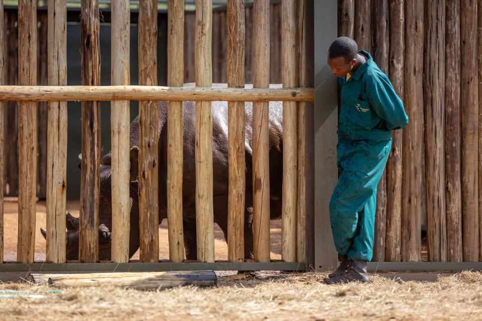 One of the relocated rhinos and one of the 20 plus staff tasked with keeping the endangered species healthy...