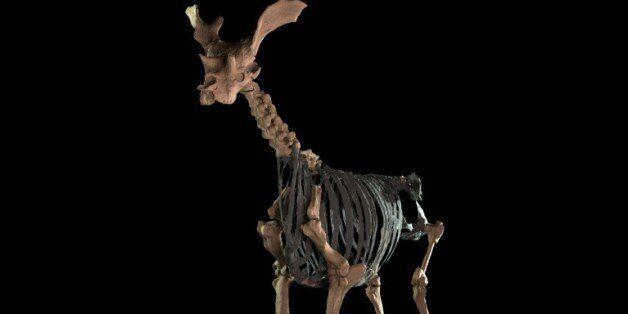 Un vieil ancêtre de la girafe, plutôt bizarre, a été