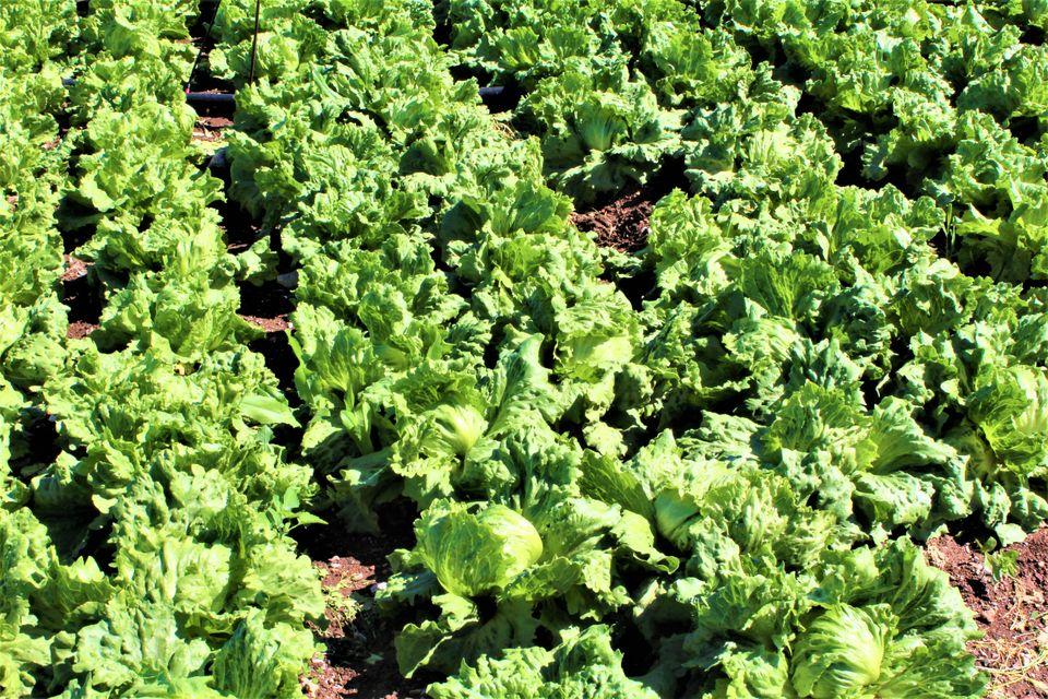 Κάμπος Ιρίων – καλλιέργεια