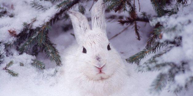 Snowshoe hare,