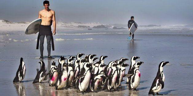 Des manchots du Cap à la Fondation pour la conservation des oiseaux des côtes, au Cap, le 30 novembre