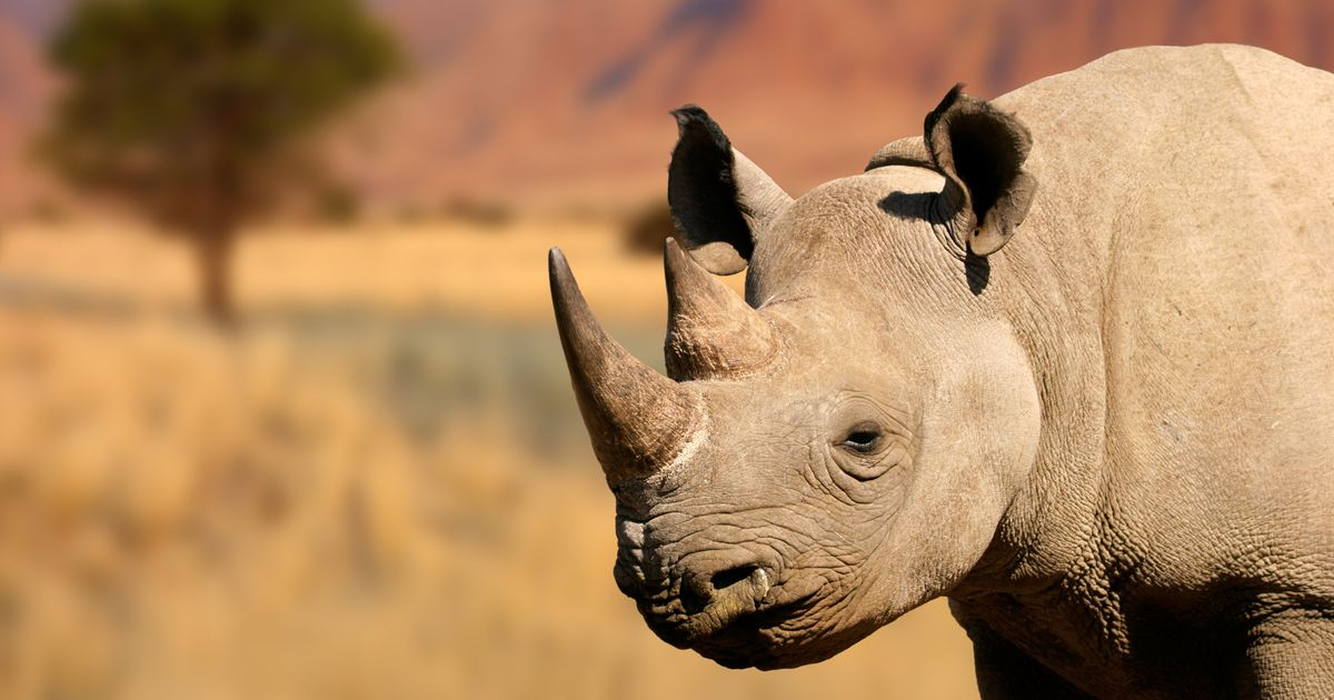 9 Rhinos Journey Across Africa In Bid To Save Their Species From Extinction