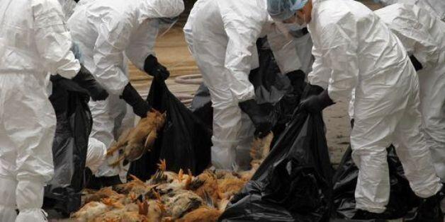 Alerte à la grippe aviaire en France: Les pays maghrébins ferment leurs