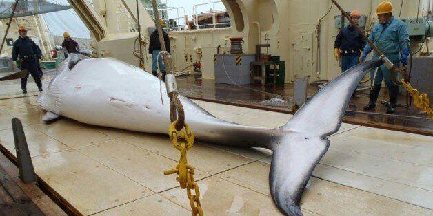 Une baleine sur le pont d'un bateau japonais de recherches, le 18 novembre 2014 dans