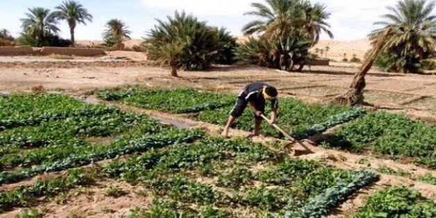 Ghardaïa: le secteur agricole confronté à la rareté de la main