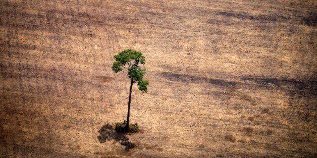 Un arbre dans une zone de déforestation dans l'Etat du Parà, dans le nord du Brésil, le 14 octobre