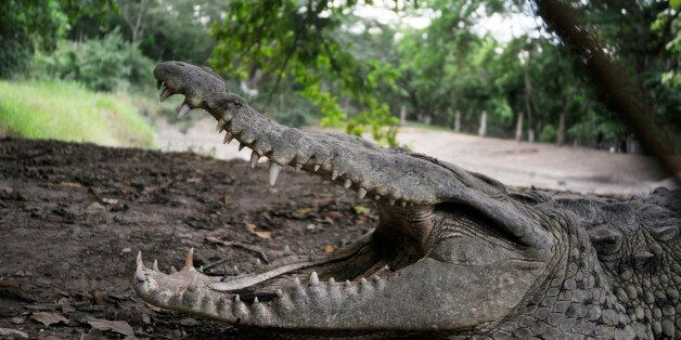 A crocodile opens its mouth as it lies on a mud bank at a farm owned by the Rosenthal family in San Manuel...