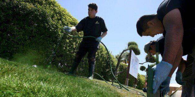 Un homme asperge de la peinture à eau verte sur une parcelle de gazon desséchée le 21 juillet 2014 à...
