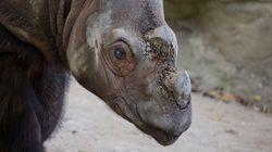 «Espoir», un des derniers rhinocéros de Sumatra, sauvera-t-il son espèce?
