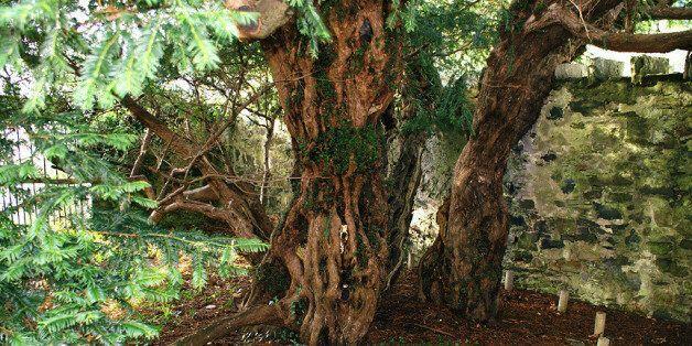 Le plus vieil arbre du Royaume-Uni est en train