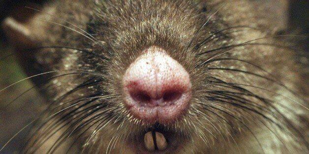 Une nouvelle espèce de mammifère découverte en Indonésie: le rat au nez