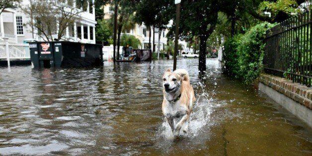 Un chien court dans une rue inondée de Charleston le 4 octobre