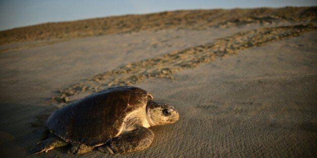Une tortue de mer (Lepidochelys olivacea) arrive pour pondre à l'aube sur la plage de Morro de Ayuta,...