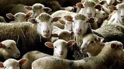 Le Zapping du net #6 - Le florissant marché des moutons de