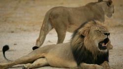 Mort du lion Cecil: appels aux dons et à faire