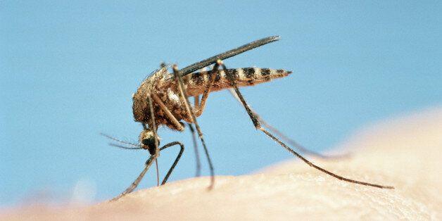 Mosquito (Culicidae sp) feeding,