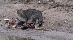 L'Australie veut tuer 2 millions de chats errants pour protéger des espèces
