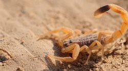 Une jeune fille succombe à la piqure d'un scorpion pique trois s£urs dont une n'a pas survécu au