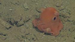 Cette pieuvre va peut-être être baptisée