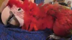 Ce perroquet est très heureux qu'on lui caresse la tête