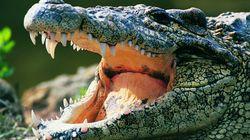 Insolite: 300 crocodiles débarquent à