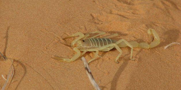 46.445 piqûres de scorpions et 41 décès enregistrés en
