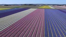 Des champs de fleurs en Hollande pour vous donner un avant-goût du