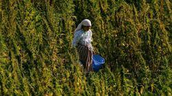 Cannabis: Le Maroc, toujours