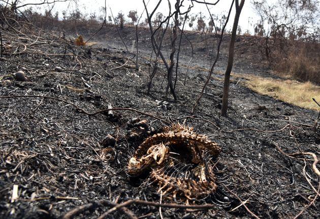 I resti di un serpente, ucciso dalle fiamme. Otuquis National Park,