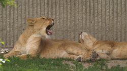 Un néo-nazi s'est littéralement jeté dans la fosse aux lions