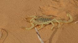 Algérie: Plus de 2.000 piqûres de scorpion dans la wilaya de