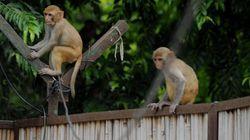 Inde: Des hommes se déguisent en singe pour chasser des singes
