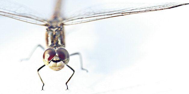 On a découvert un insecte femelle avec un pénis (Photo