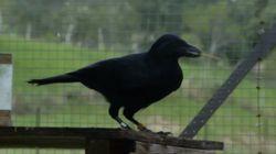 Ce corbeau va vous bluffer par son