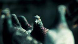 Des pigeons zombies à Moscou