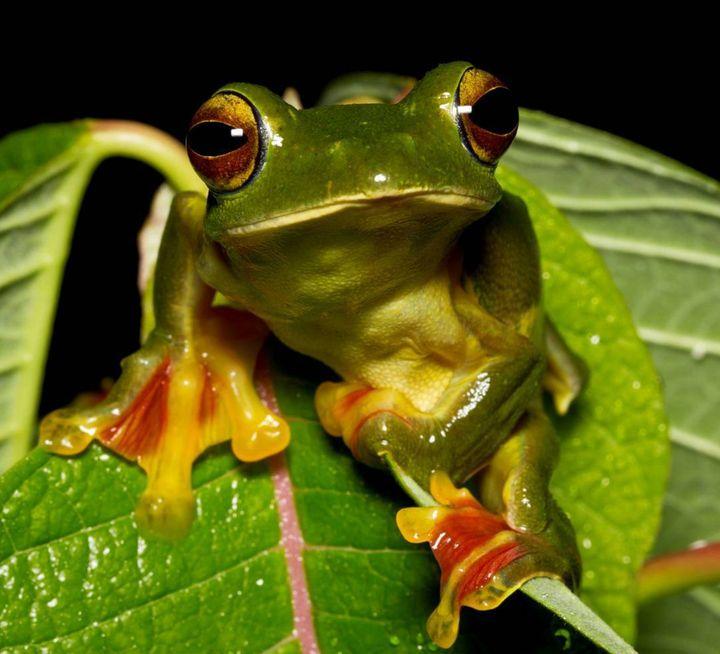 Malabar Gliding Frog
