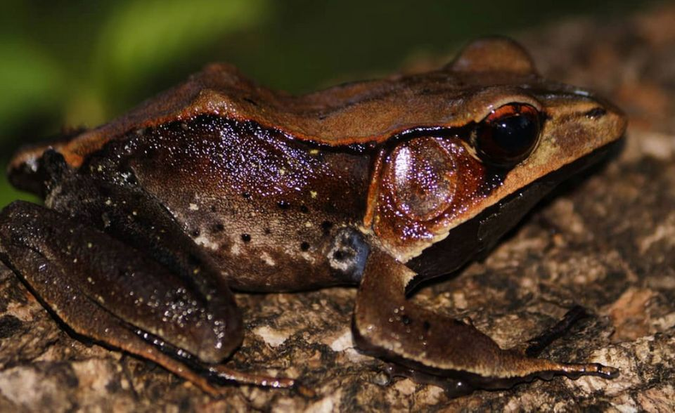 A Bicolor Frog, also known as Malabar Frog. The tadpoles of the species are black and form dense...