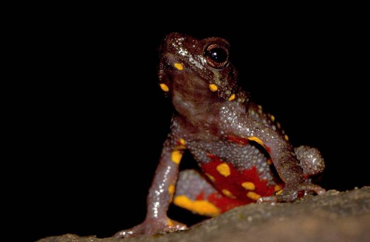 A Malabar Torrent Toad. These toads when threatened will jump and flip on their back, showing off those bright yellow and red colours to warn potential predators. This behaviour is called UnkenReflex. Their Population is decreasing due to deforestation and they are listed as Endangered by IUCN.