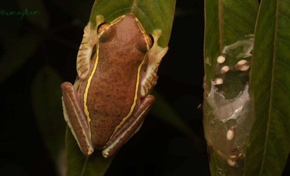 This small, colourful and endangered frog was thought to be extinct, and was rediscovered after 80 years....
