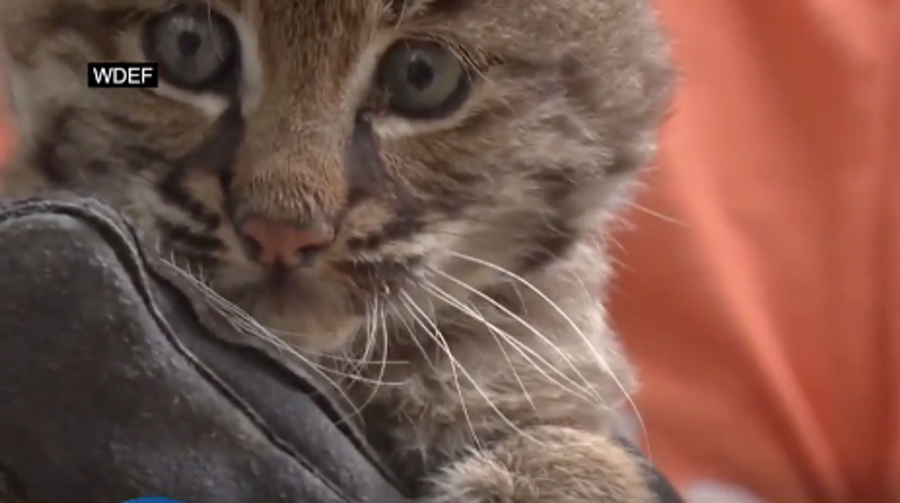 Westlake Legal Group 5d8f736c2200003400dedb73 Woman Finds Out 'Kitten' She 'Rescued' Is Actually A Bobcat