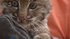 女性を見出してきた'子猫の'彼女は'救助されたが実際には、ボブキャット