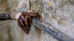 Cuba combat une invasion d'escargots