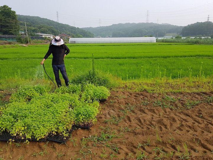 이성연씨가 캣닙 모종에 물을 주고 있다. 제초제를 쓰는 대신 잡초를 수없이 뽑는 작업을 반복하며 캣닙을 기른다.
