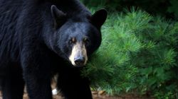 Black Bear Attacks Hiker In Northern