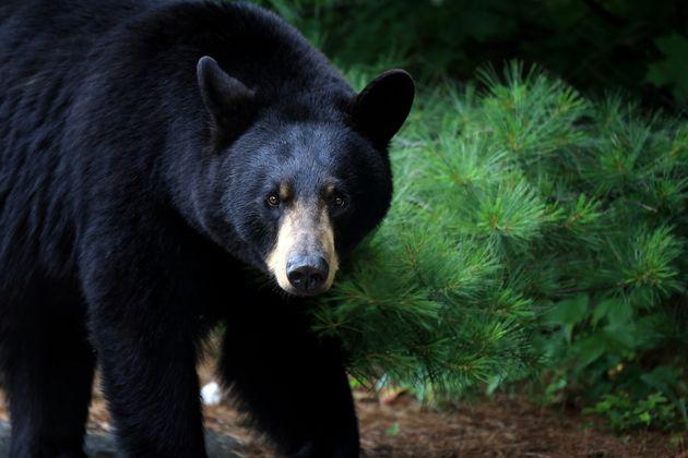 A female black bear is seen here in