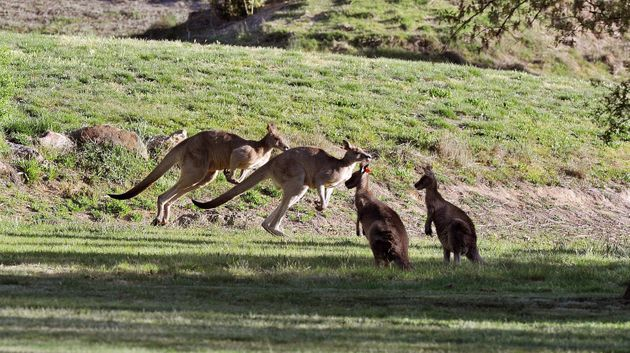 Australian Teen Charged With Running Over 20 Kangaroos