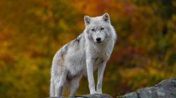 Χορεύοντας με τους λύκους: Άνδρας στη Ρωσία διατηρεί λύκους ως