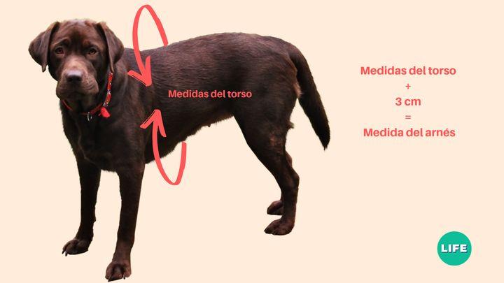 Cómo tomar las medidas para el arnés de un perro.